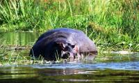 hippo lazing in the water near kabaleag lodge.jpg