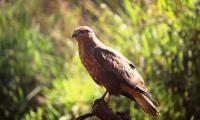 kite_murchison falls national park.jpg