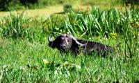 lone buffalo near kabalega lodge.jpg