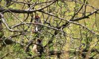 patas monkeys_murchison falls national park.jpg