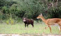 warthog and kob_murchison falls national park.jpg