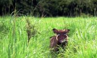 warthog-playing-hide-and-seek-in-murchison-falls-national-park.jpg